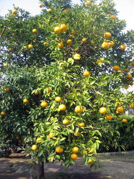Summer_mandarin_orange_5