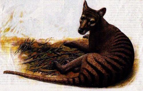 Tasmanian_tiger_extinct_since_1936-1