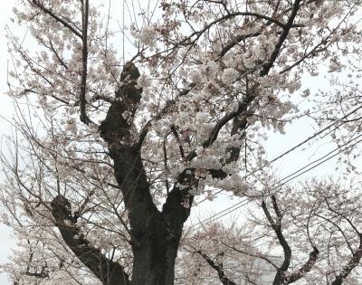Sakura_20200406232801